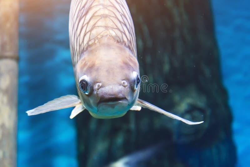 Large fish in a marine aquarium close-up view royalty free stock photos