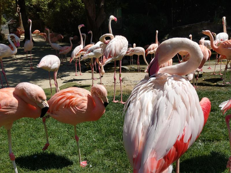 Large Flamingo preen wing feathers in a flock on the lawn of LA zoo stock images