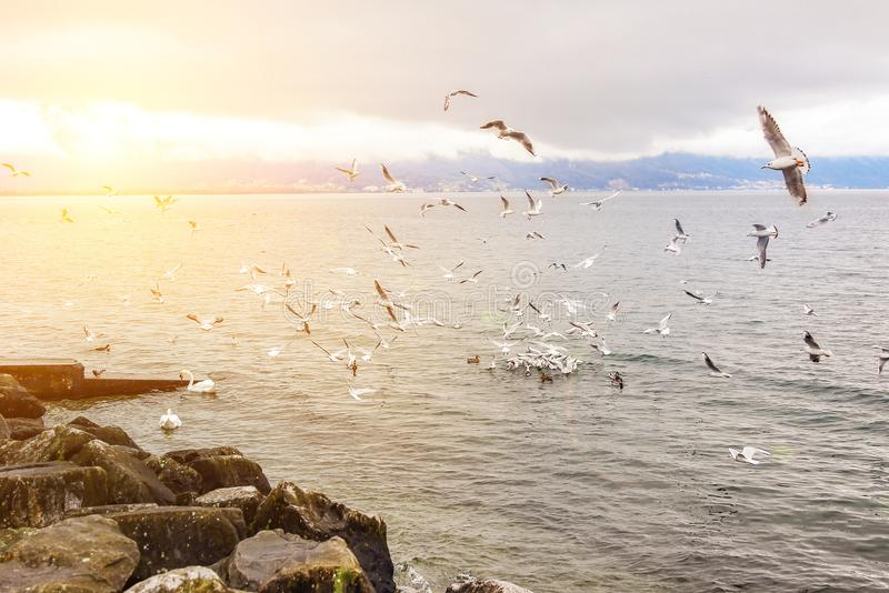 Large flock of birds flying over lake shore. Many seagulls, ducks and swan near rocky shore of pond. Sunset or sunrise time. Beaut. Iful scenic landscape royalty free stock photos