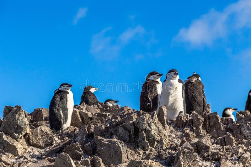 Several chinstrap penguins standing on the rocks with snow mountain in the background, Half Moon island, Antarctic peninsula. Large flock of chinstrap penguins royalty free stock photo