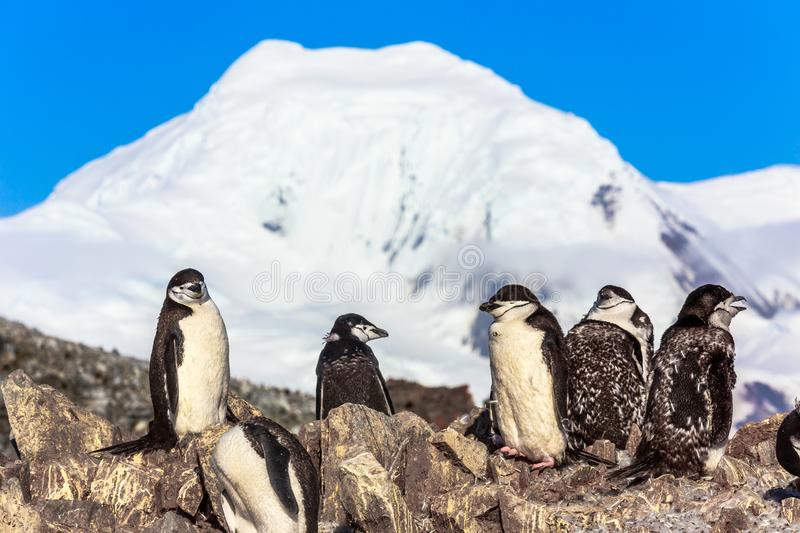 Several chinstrap penguins standing on the rocks with snow mountain in the background, Half Moon island, Antarctic peninsula. Large flock of chinstrap penguins stock images