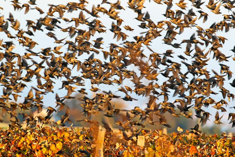 A large flock of common starlings takes off from the vineyard. Soft morning light stock images