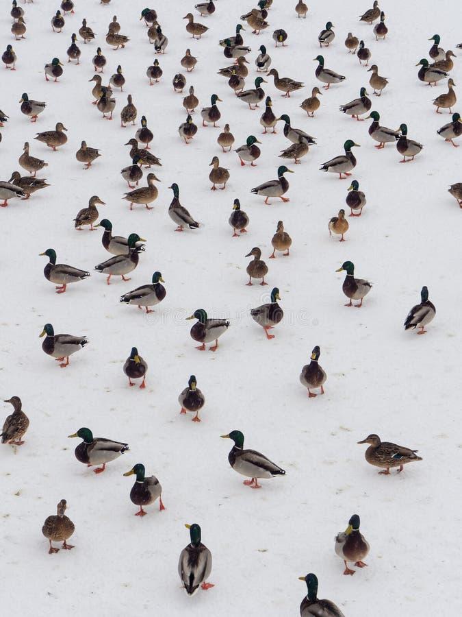 Large flock of ducks royalty free stock image