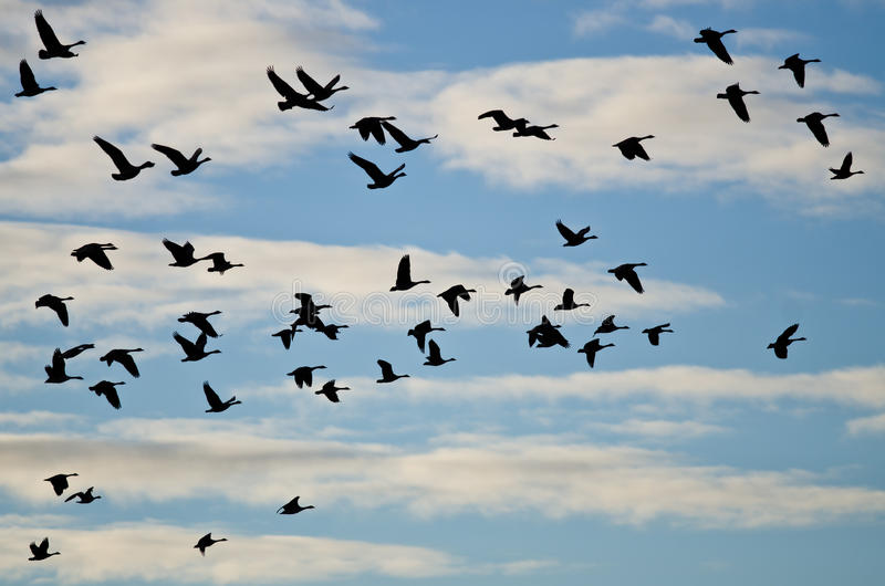 Download Large Flock Of Geese Silhouetted In The Cloudy Sky Stock Photo - Image of north, bird: 74308300