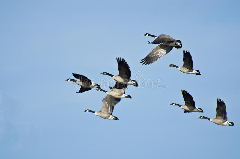 Large Flock of Geese Taking Flight. A Large Flock of Canada Geese Taking Flight stock photos