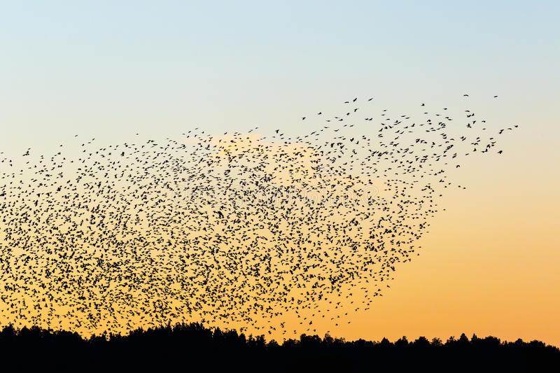 Large flock of jackdaws in sunset stock images