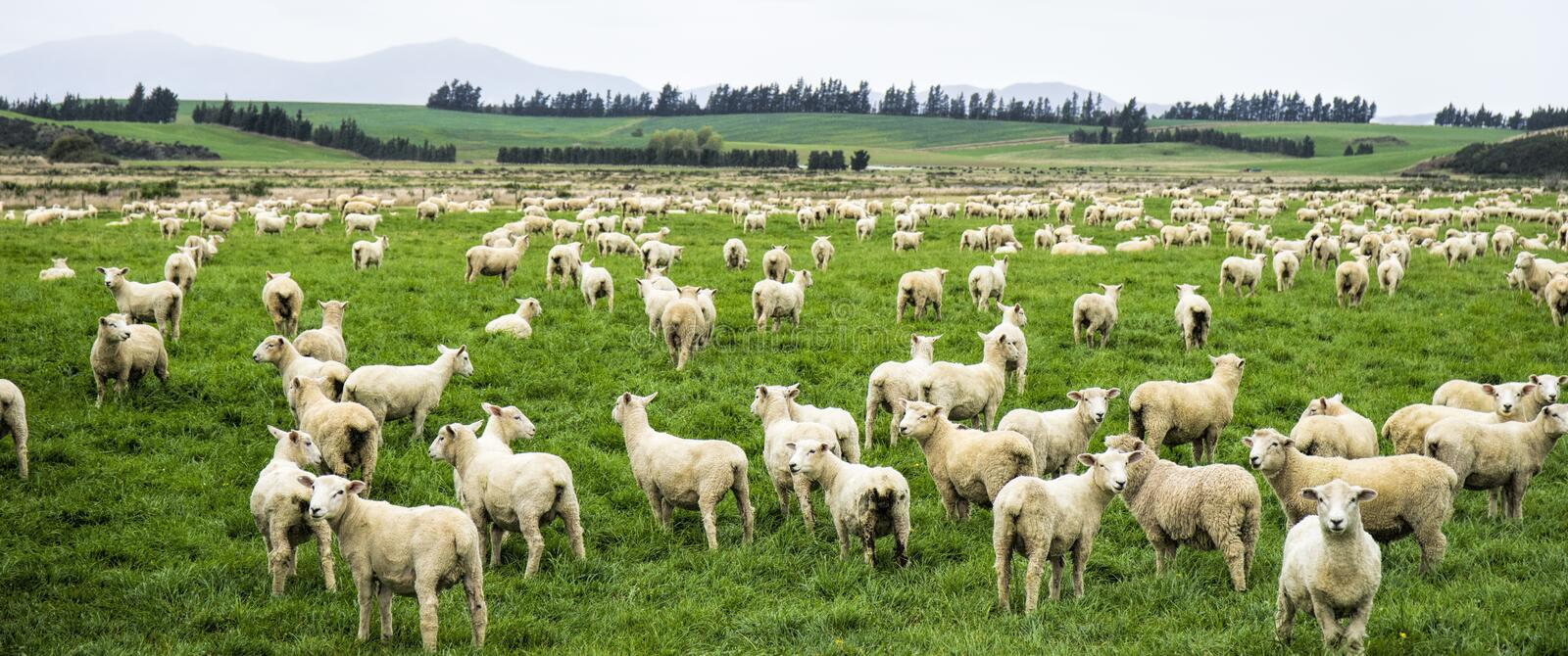 Large flock of newly shorn sheep stock image