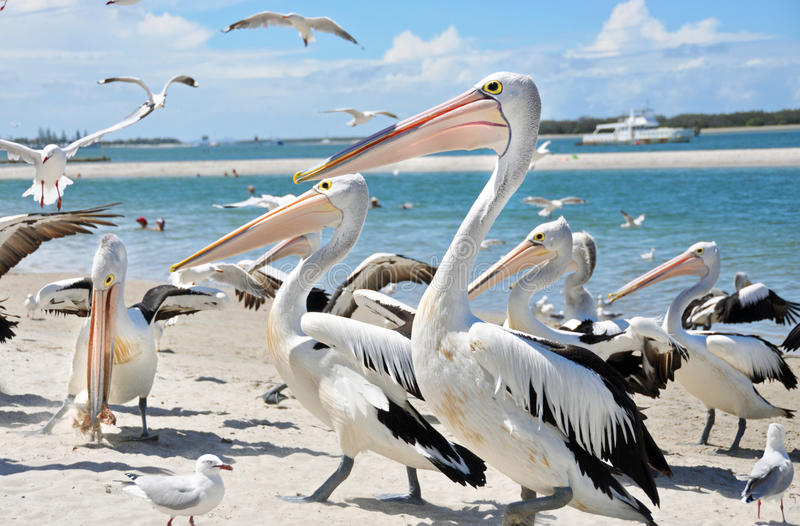 Large flock of Pelicans & sea birds on beautiful beaches of Gold Coast, Australia stock images