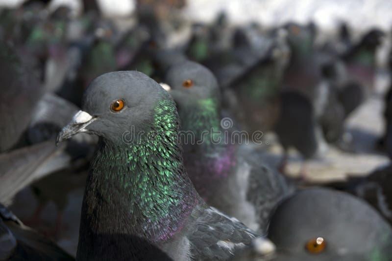 Large flock of pigeons closeup royalty free stock photos