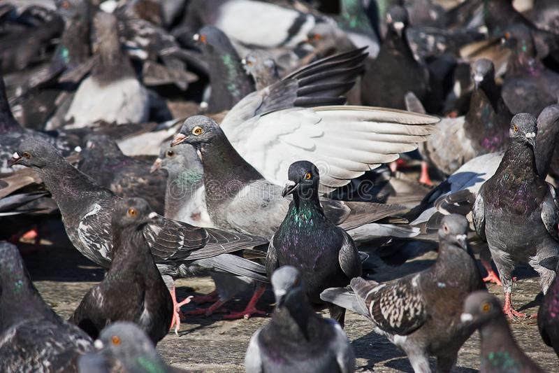 A large flock of pigeons stock images