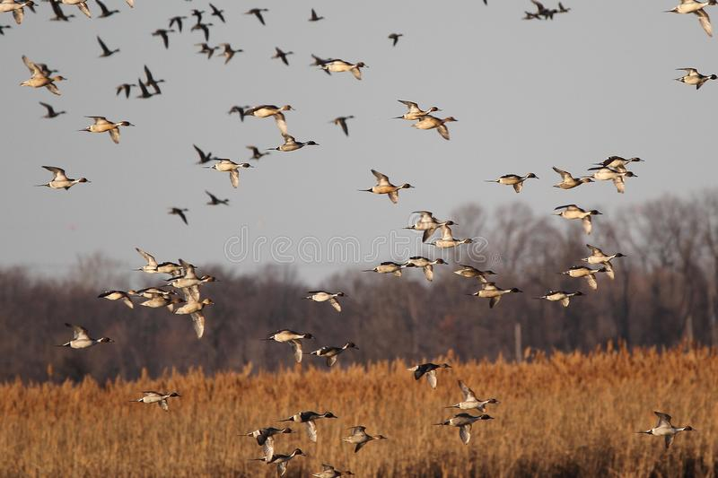 Large Flock of Pintails in Flight royalty free stock image