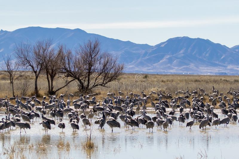 Large flock of sandhill cranes royalty free stock photography