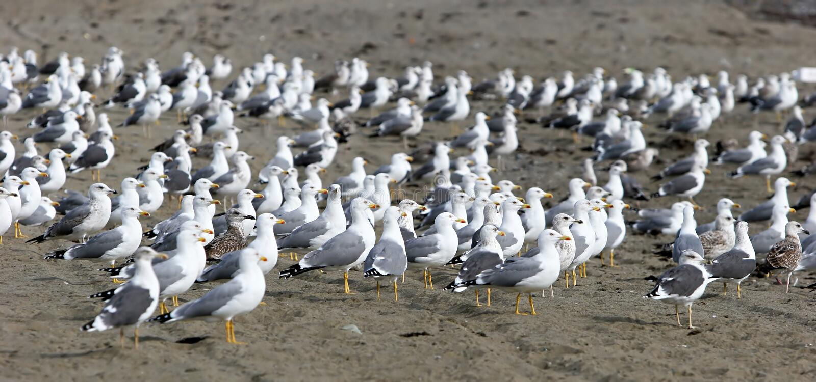 Large flock of seagulls on the beach all looking in the same direction except for one in the center. Large flock of seagulls on a sandy beach all looking in the stock photo