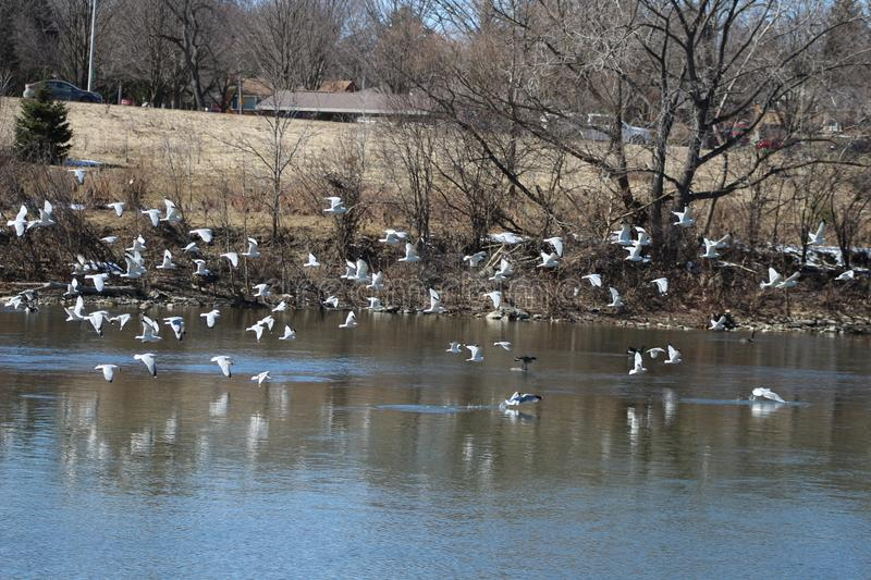 A ton of seagulls on the thames river and experience the ecosystem of Canada stock photo