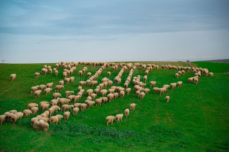 Flock of sheep. A large flock of sheep grazing in the field royalty free stock images