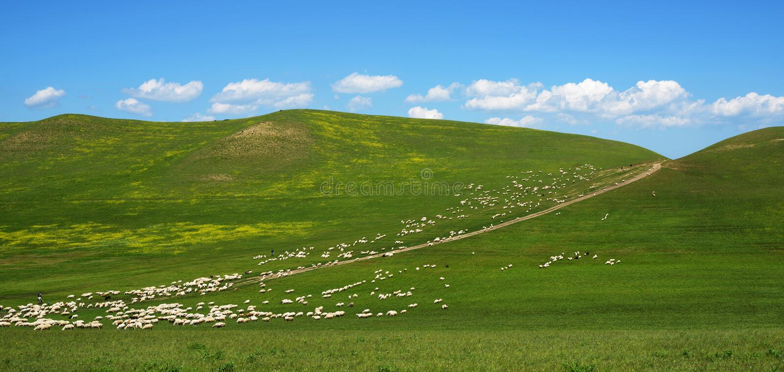 Large flock of sheep grazing on the hill royalty free stock photo