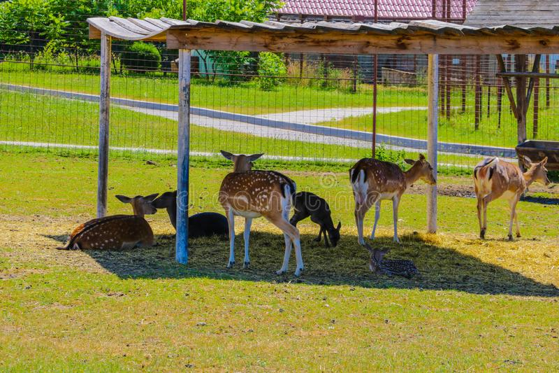 Large flock of sika young deer on a sunny day in nature stock images