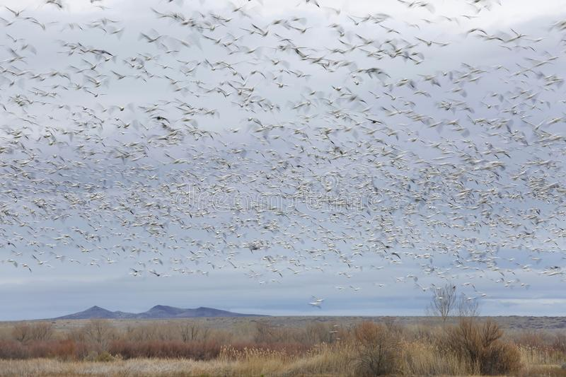 Large flock of Snow Geese blurred in flight - New Mexico royalty free stock image