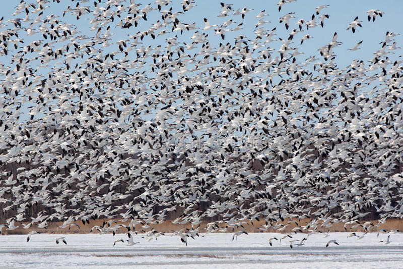Large flock of snow geese taking off. stock photography