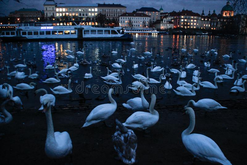 A large flock of swans swimming at night in the Vltava River royalty free stock images