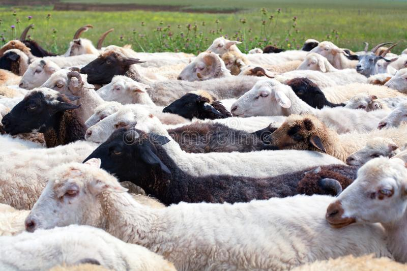 Large flock of white and black sheeps walking on the road on the green field background closeup royalty free stock image
