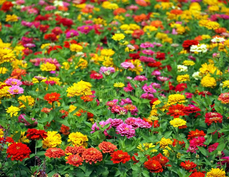 Large Flower Field with Marigolds royalty free stock photos