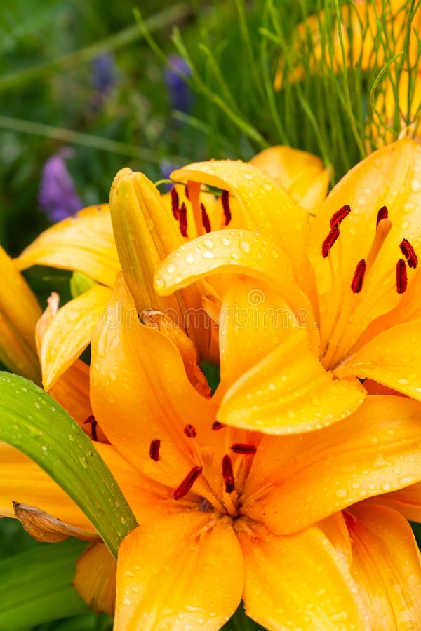 Large flower lily orange long petals wet with morning dew close-up royalty free stock photo