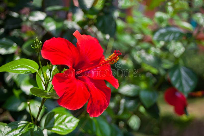 Large flower of red hibiscus Hibiscus rose sinensis on green leaves natural background stock photos