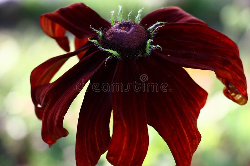 Claret flower of a rudbeckia. Large flower of a rudbeckia with petals of claret tones on a light motley background stock image