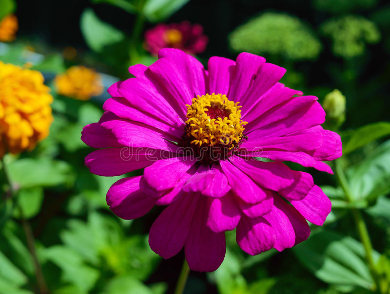 Large flower zinnias bright purple (pink) color on the background of nature. Close-up stock photos