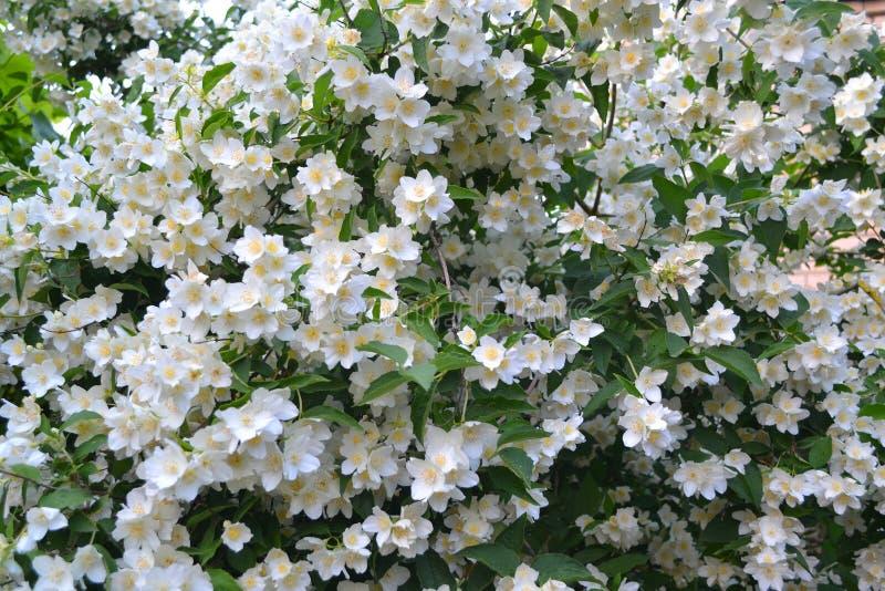A large flowering shrub white jasmine, floral background royalty free stock photo