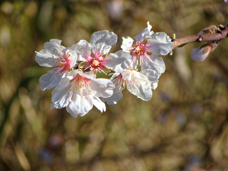 Large flowering tree cherry blossom spring Sunny day stock photography