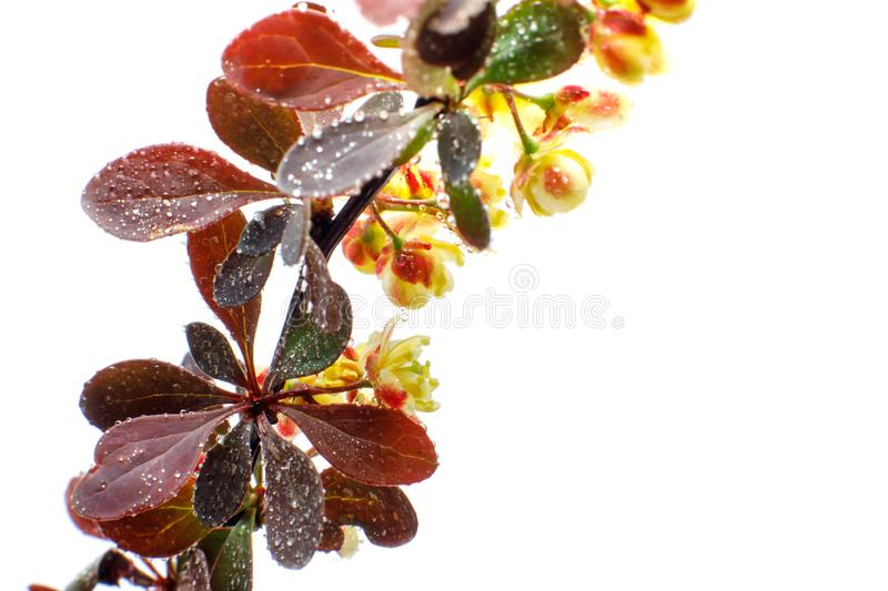 Large flowers of barberry with water drops on a light background. Close-up. Selective focus stock image