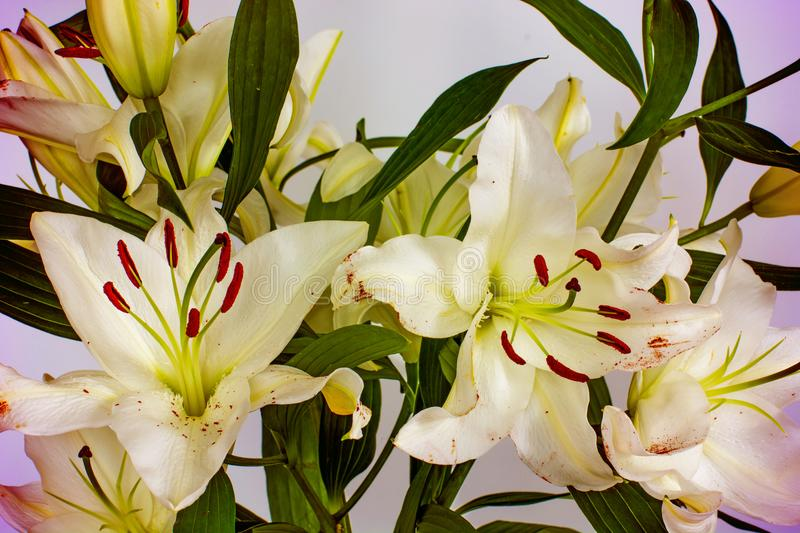 Large Flowers Of A Lily, Close-up, White Background. Isolate. Stock ...