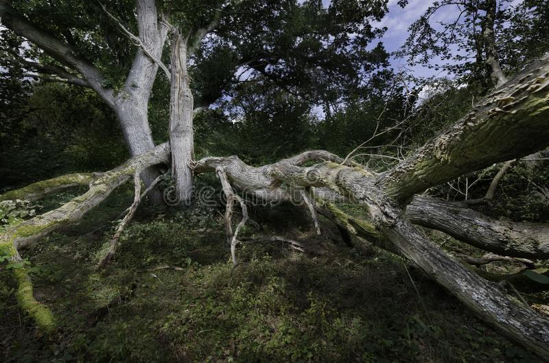Large Forest tree severly damaged by strong winds royalty free stock images