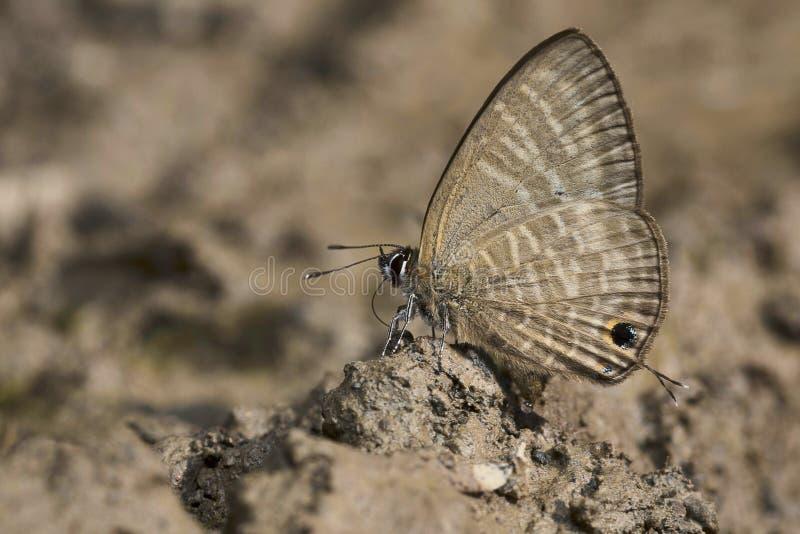 Large Four-Line blue butterfly, Nacaduba pactolus, Satakha, Nagaland royalty free stock image