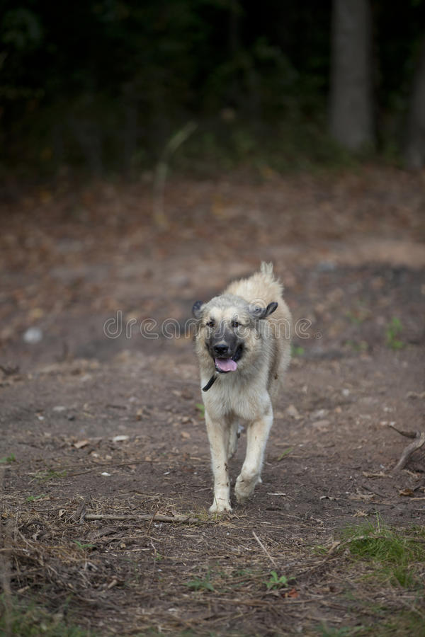 Large friendly dog running through open field royalty free stock photos