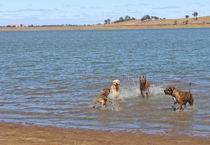 Large friendly dogs romping in water stock images