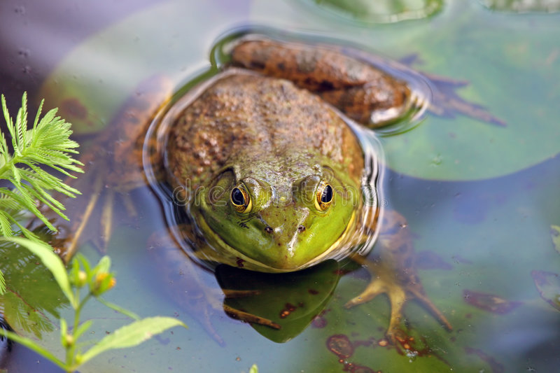Large Frog royalty free stock photo
