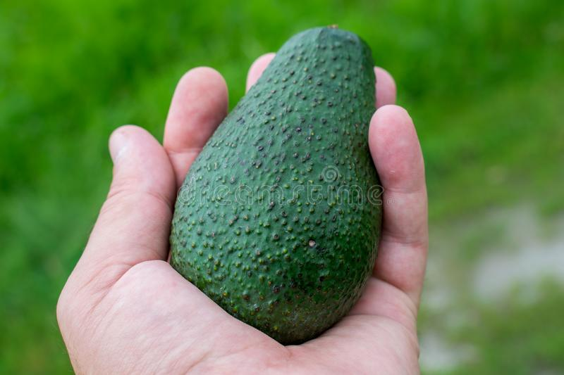 A large fruit of avocado kept in hand. a healthy fruit to be consumed by everyone.  royalty free stock photos