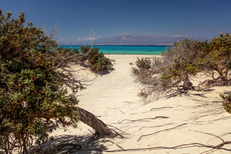 Large-fruited juniper Juniperus macrocarpa trees on sandy bea. Ch with sea in distance. Chrissi island, Ierapetra, Greece royalty free stock image
