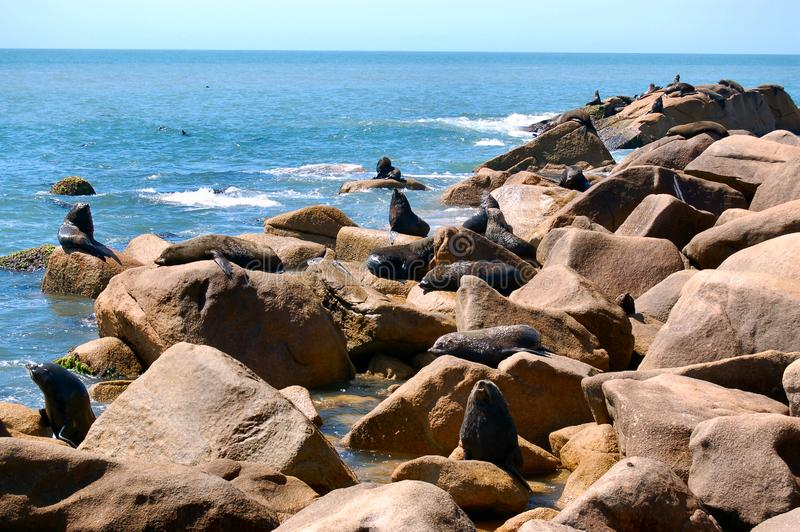 Download Large Fur Seal colony stock image. Image of seals, crowded - 1889655