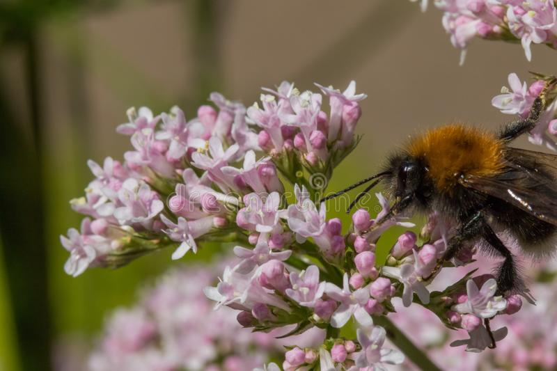 Large furry Bee pollinating pink flowers. stock photography