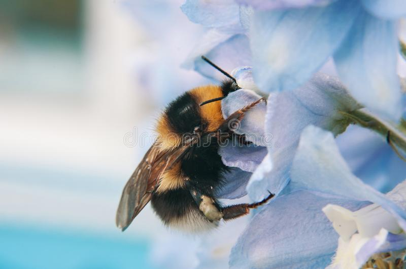 A large furry bumblebee closeup, which drinks the nectar of the blue flower bell stock photo