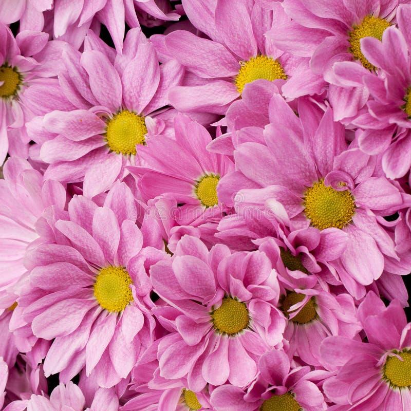 Large furry bush of pink chrysanthemums stock image