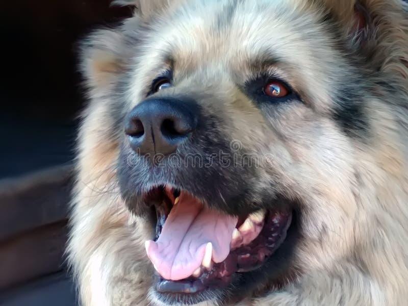 Large furry muzzle of a dog portrait stock images