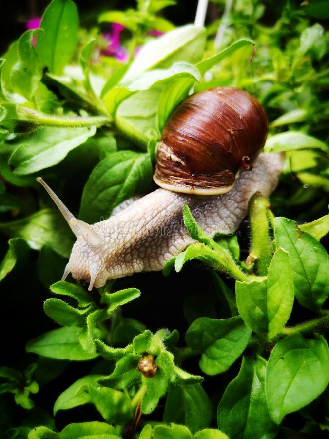A large garden snail on surfinia leaves. Helix pomatia. Snail - a slow animal that is covered by a shell.  Helix pomatia stock photos