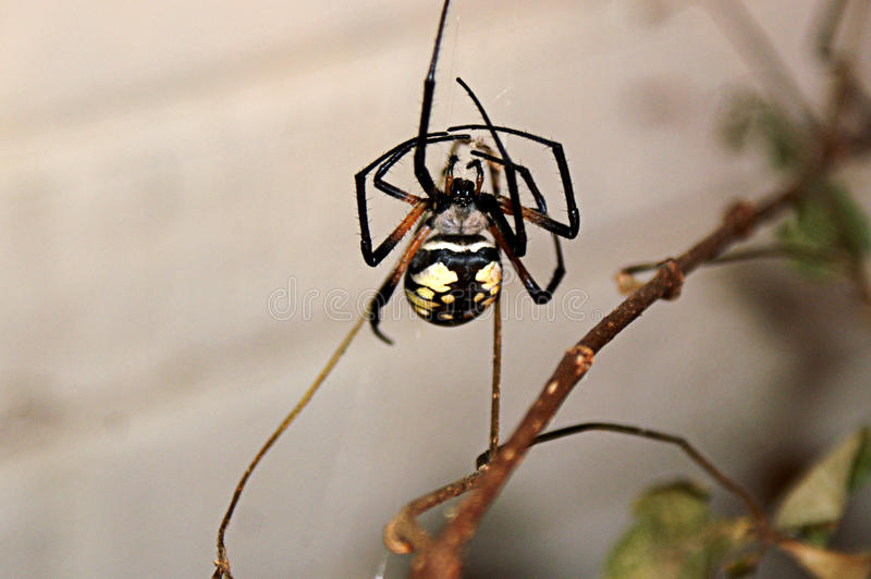 Large Garden Spider in Web. Large garden spider sits in her web waiting for prey stock images