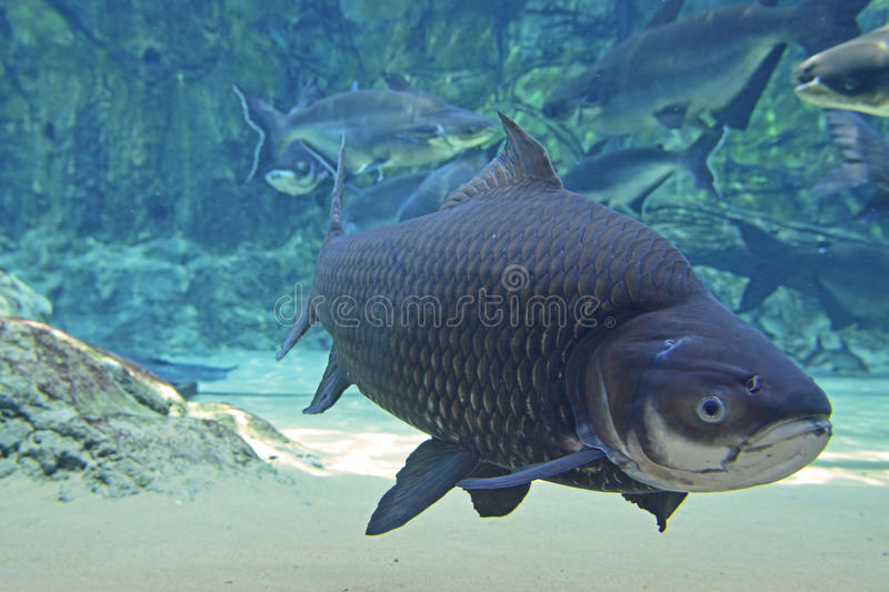 A Large Giant Siamese Carp fish passing by the camera lense stock photo