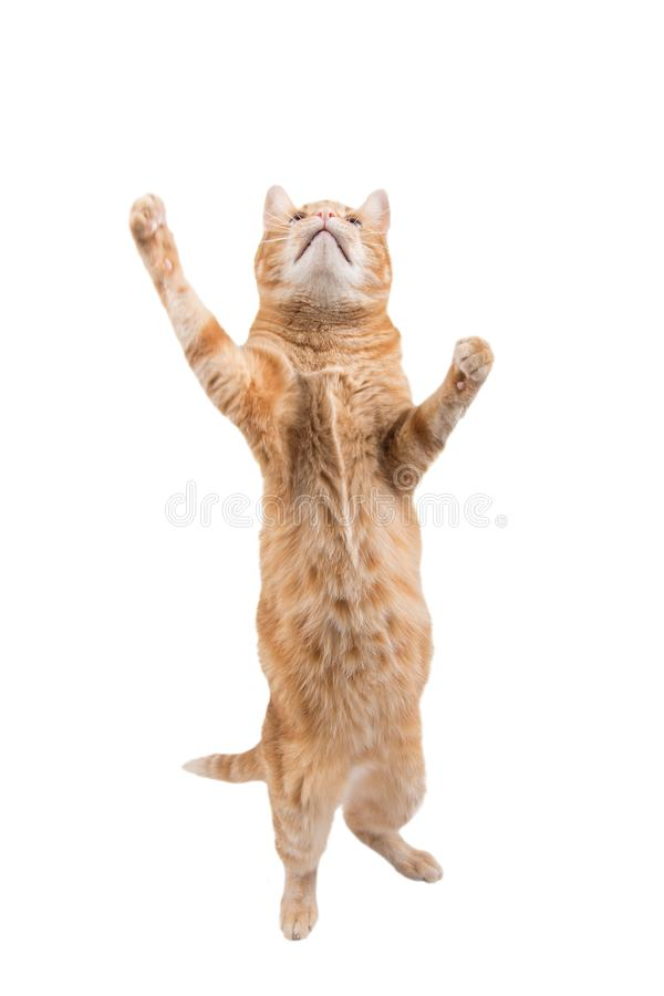 Large ginger tabby cat standing on his hind feet. Reaching up high, on white stock images